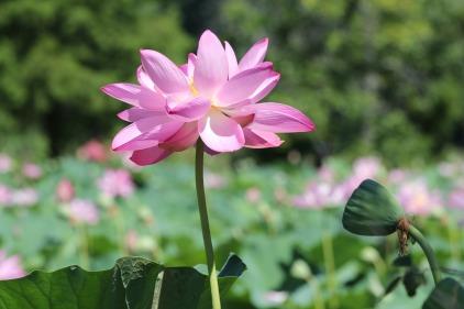 lotus-1867676_1920